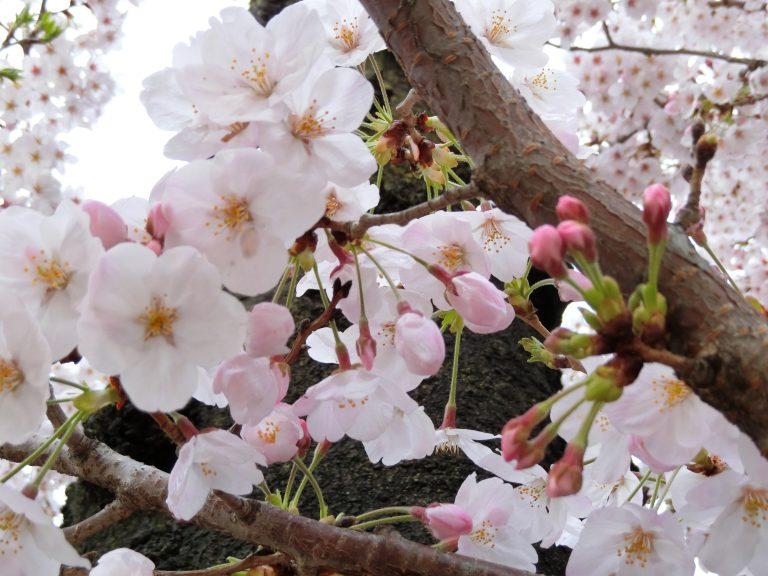 錦糸公園の桜