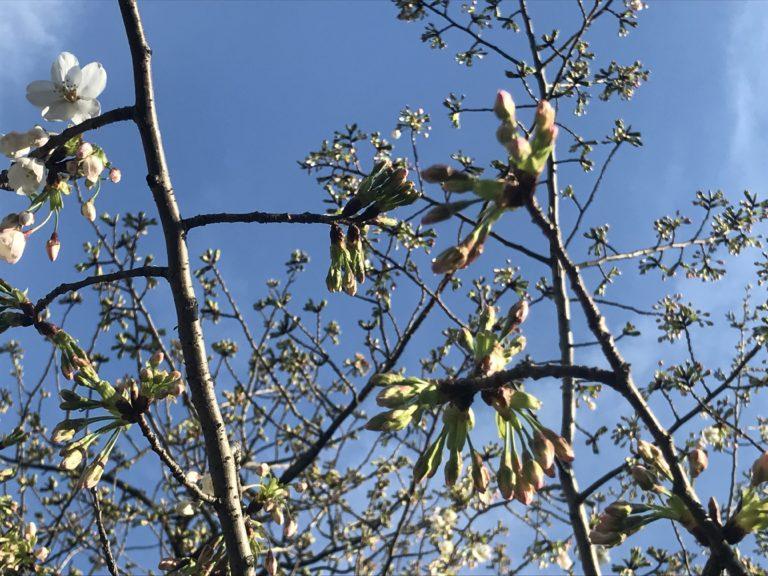 不忍池の桜のつぼみ