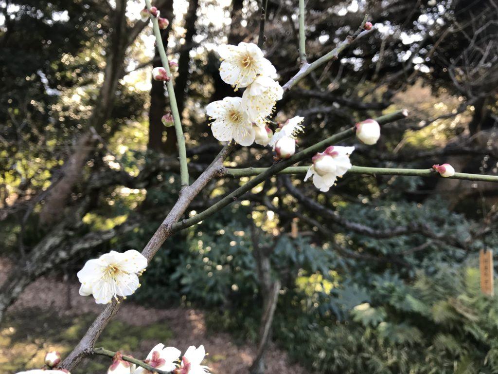 小石川後楽園の梅林