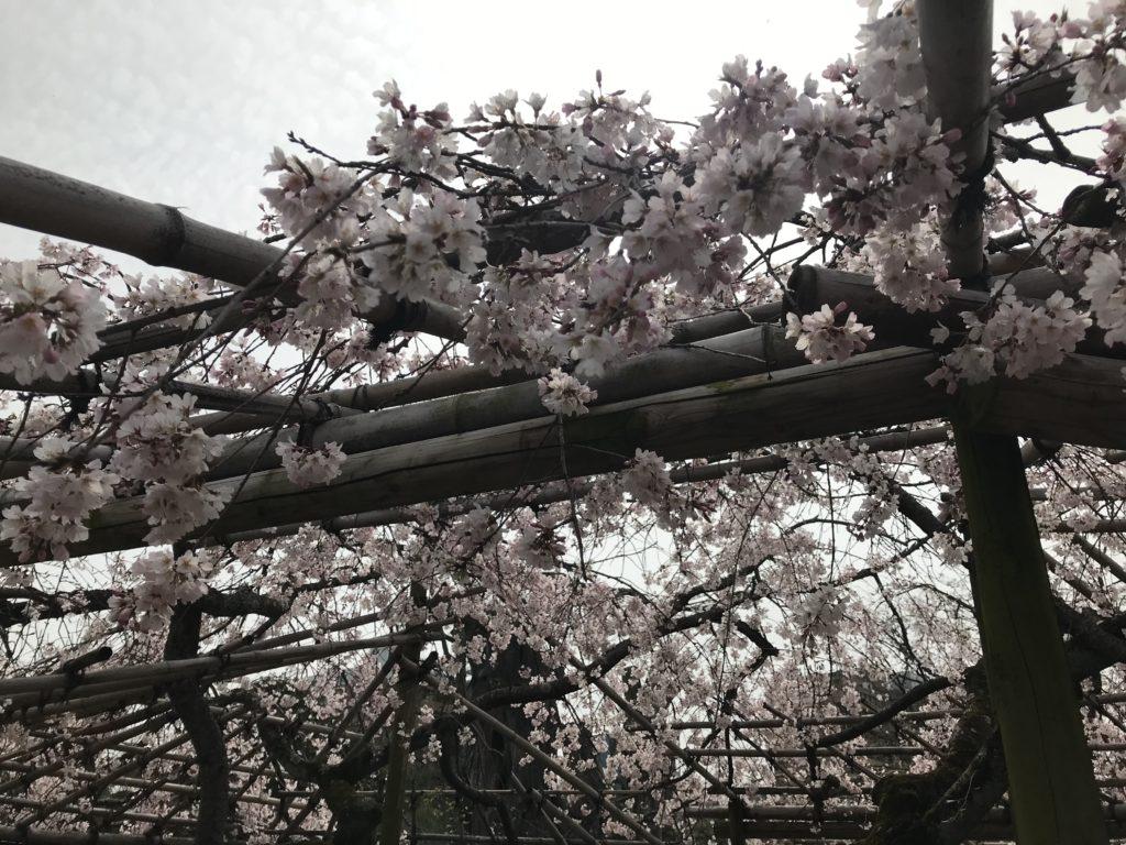 渉成園の庭(桜)